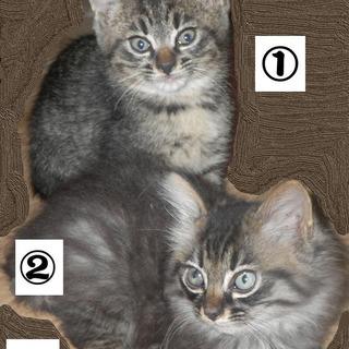 生後2カ月の子猫 4匹 貰ってください。