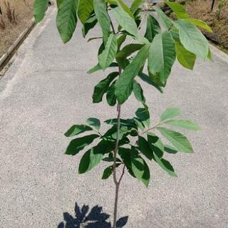 ポポーの樹、不織布ポット植え七号7年生以上【おすすめの果樹】
