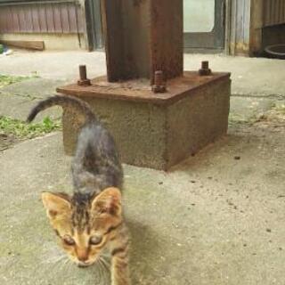 野良猫の赤ちゃんです キジトラ