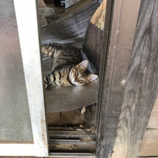 成田市大栄、前林 愛猫探しています!