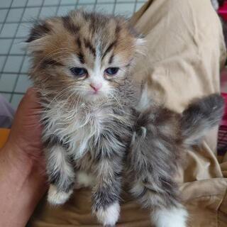 スコティッシュの子猫♀、アメショー♀