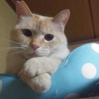 ブルーアイの笹かま猫くん