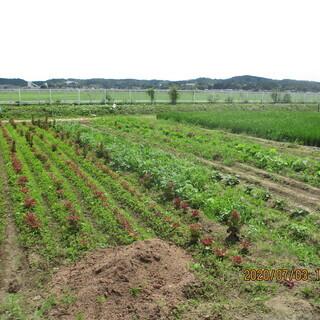 サニーレタス 無農薬 福祉貸農園「おひさま農園」から直売です!