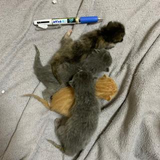 生後3日子猫