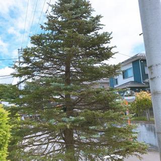 【交渉中】樹木 ホプシー