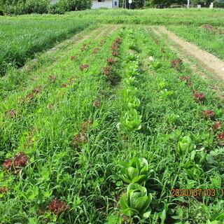 コスレタス 無農薬 福祉貸農園「おひさま農園」から直売です!
