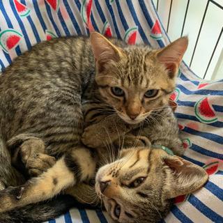 お顔がそっくりな仲良しキジ猫3兄妹(生後3ヶ月ほど)