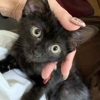 生後2ヶ月の黒猫ちゃん㊚とキジちゃん㊚