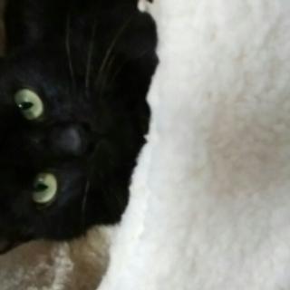 かわいい黒猫の里親さんになってください