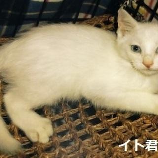 2ヶ月の白い子猫ちゃんの里親になってください(応募者多数の…