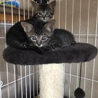 かわいいキジトラ兄妹(2ヶ月)