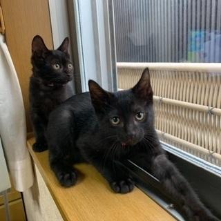 人が好き2ヶ月弱黒猫兄妹オシャレペアの画像