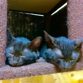 人が好き2ヶ月弱黒猫兄妹オシャレペア - 葛飾区