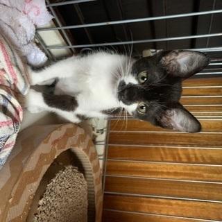 ミケ、鼻黒くん 子猫2姉妹3か月ほど