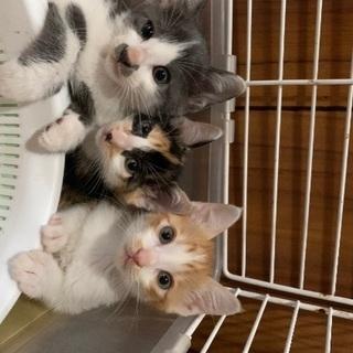 生後2か月 子猫3兄弟