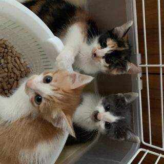 生後2か月 子猫3兄弟 - 佐賀市