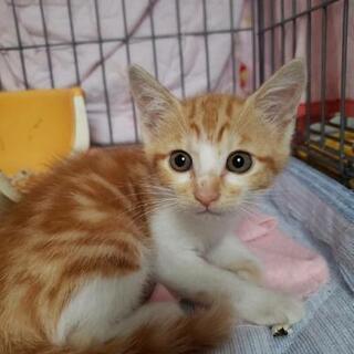 アメショーっぽい柄の茶白子猫2匹2ヶ月