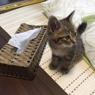 【急募!】生後およそ2か月 オス子猫1匹 - 猫