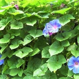 ◎緑のカーテンに最適★琉球朝顔・りゅうきゅうあさがお・リュウキュ...