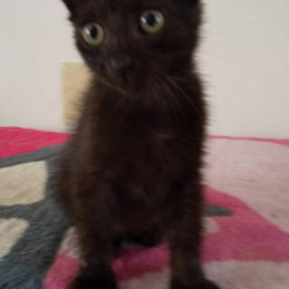 生後60日くらいの黒猫 男の子
