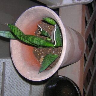 サンセベリア小 観葉植物