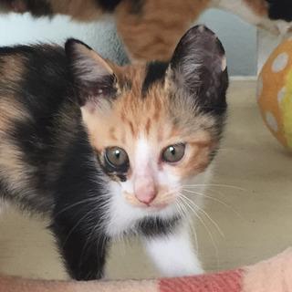 三毛猫 のメス