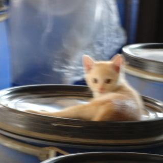 子猫1ヶ月半、里親になってください。とら猫2匹います。とっ…