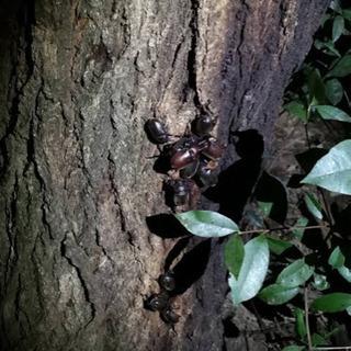 【三河エリア】カブトムシ採集🌳