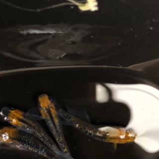 煌 メダカ 卵25個