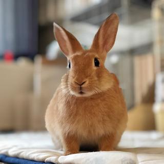 ミニウサギのはなちゃんです! ゲージ等全てあります!