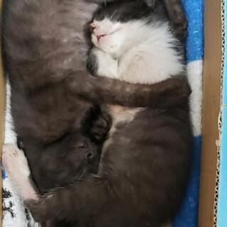 生後2ヶ月 仲良し兄弟ネコの里親さんになって下さい − 神奈川県