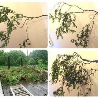 雲竜柳ウンリュウ柳の枝物3本~大量にあります
