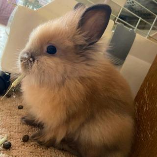 生後3ヶ月、ライオンウサギの里親様募集