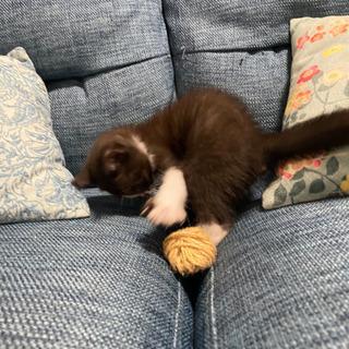 生後2ヶ月のメス、元気いっぱいなハチワレちゃん - 猫