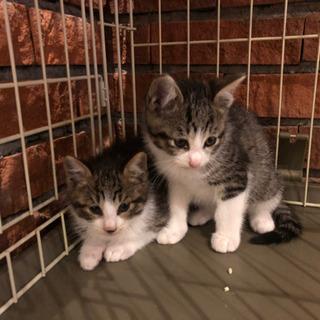 【再募集】生後1ヶ月ほどの子猫