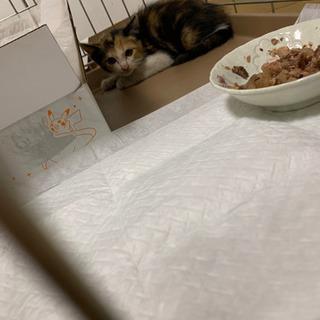 2〜3ヶ月位の三毛猫ちゃん