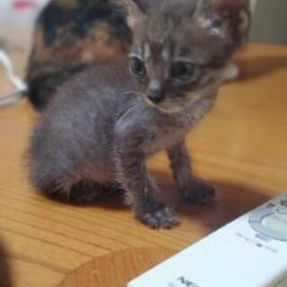 とっても小柄なキジ猫の男の子 - 福岡市