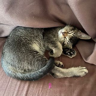 生後4ヶ月の子猫(♁)譲ります