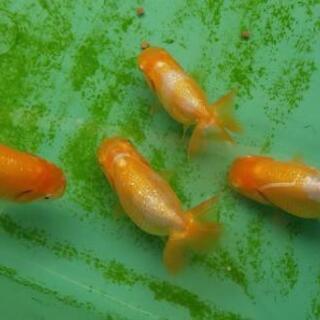 金魚 らんちゅう(当歳)4.5~6cm