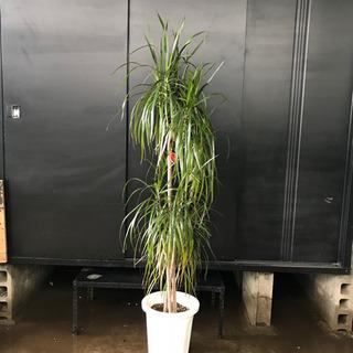 真実の木B 約H170cm