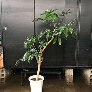 ツピタンサスA 約H 160cm
