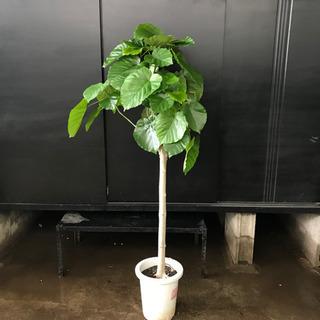 ウンベラータA 約140cm