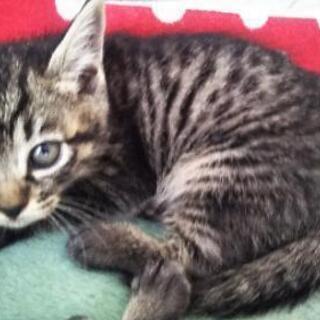保護子猫③ 女の子 生後1ヶ月半
