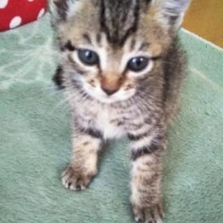 保護子猫⑤ 女の子 生後1ヶ月半