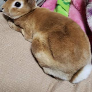 【急募】ミニレッキス   オス 3歳