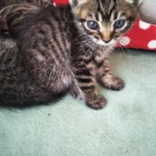 保護子猫⑥ 鍵尻尾 女の子 生後1ヶ月半