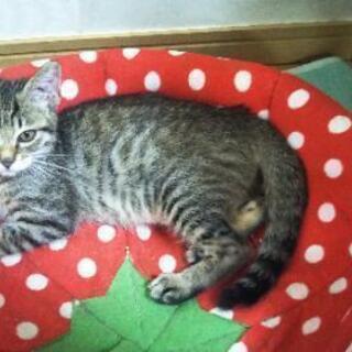 保護子猫 キジトラ女の子 生後3ヶ月
