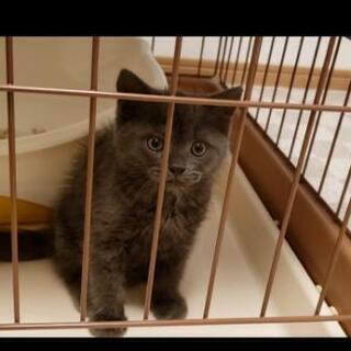 スコティッシュフォールド2ヶ月の子猫