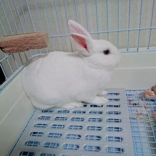 7ヶ月ミニウサギ(オス)の里親募集