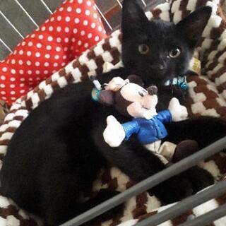 💮急募💮黒猫②(3ヶ月ぐらい)♂
